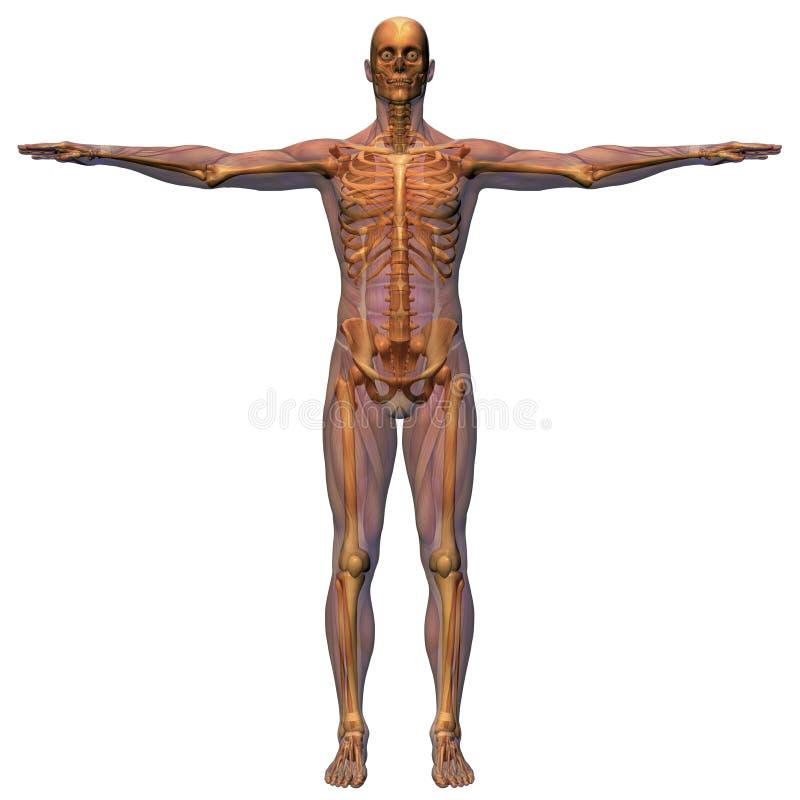 解剖学男性肌组织机智 向量例证