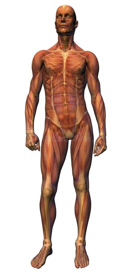 解剖学男性肌组织机智 库存例证
