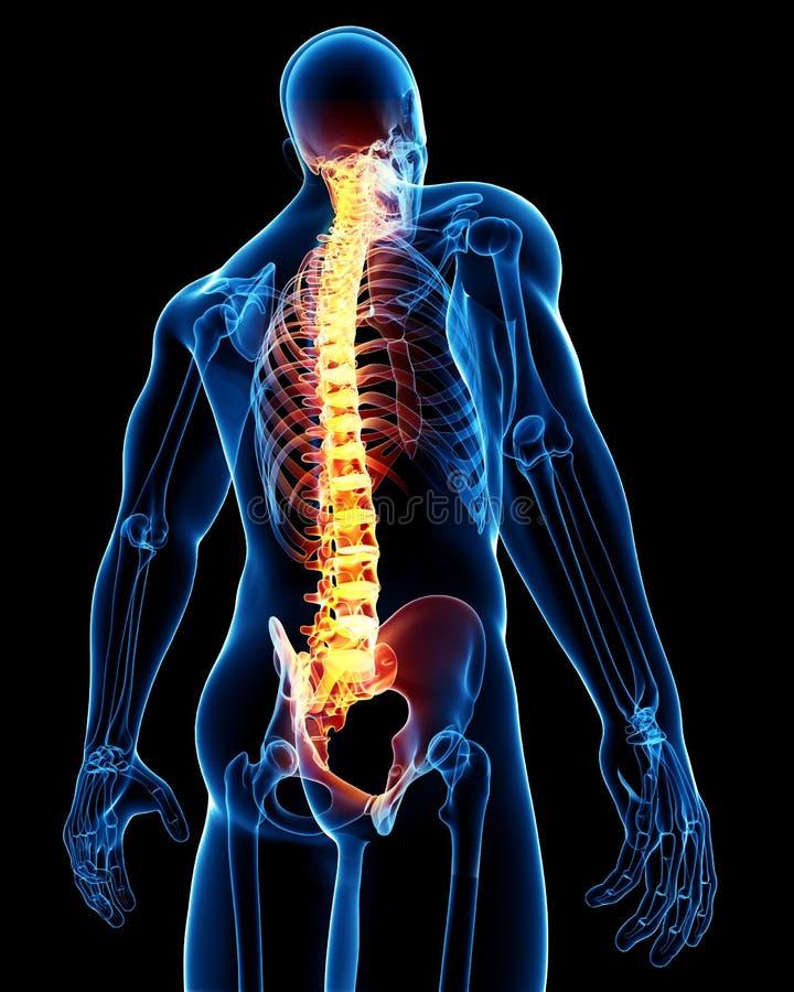 解剖学男脊椎 皇族释放例证