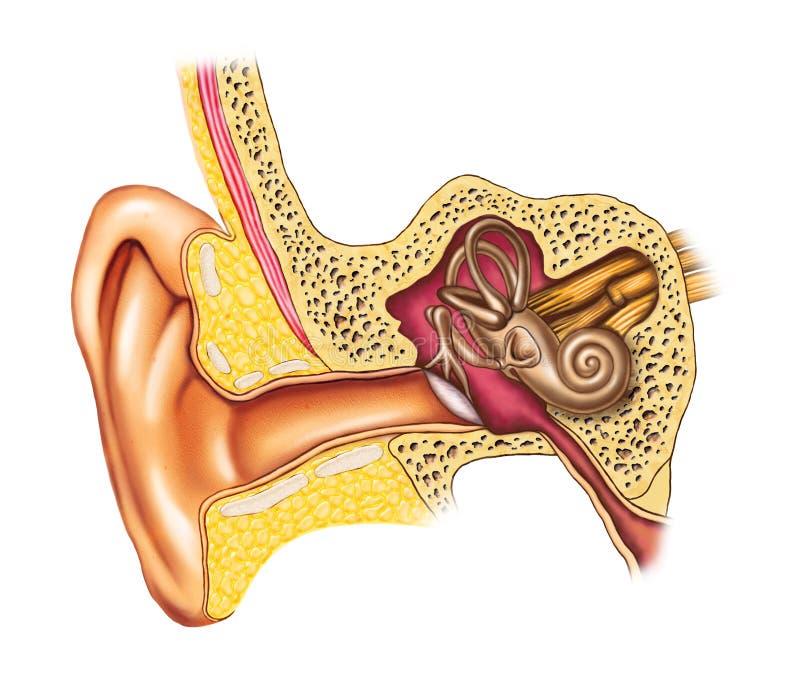 解剖学耳朵 向量例证