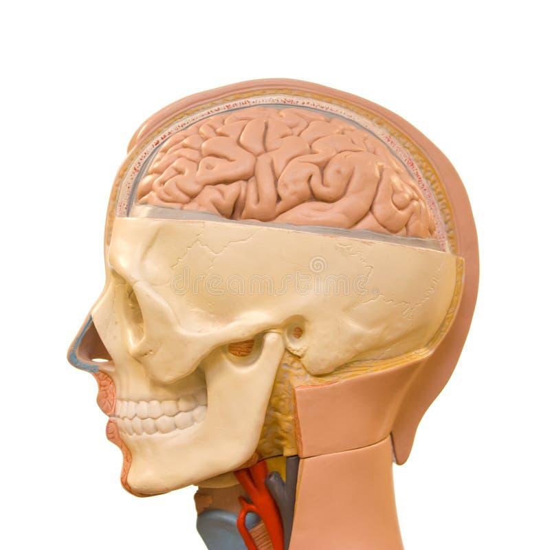 解剖学脑子人 库存照片