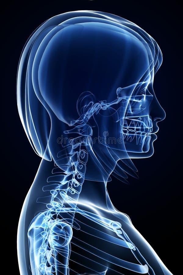 解剖学表面女性 皇族释放例证