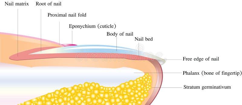 解剖学详细钉子 向量例证