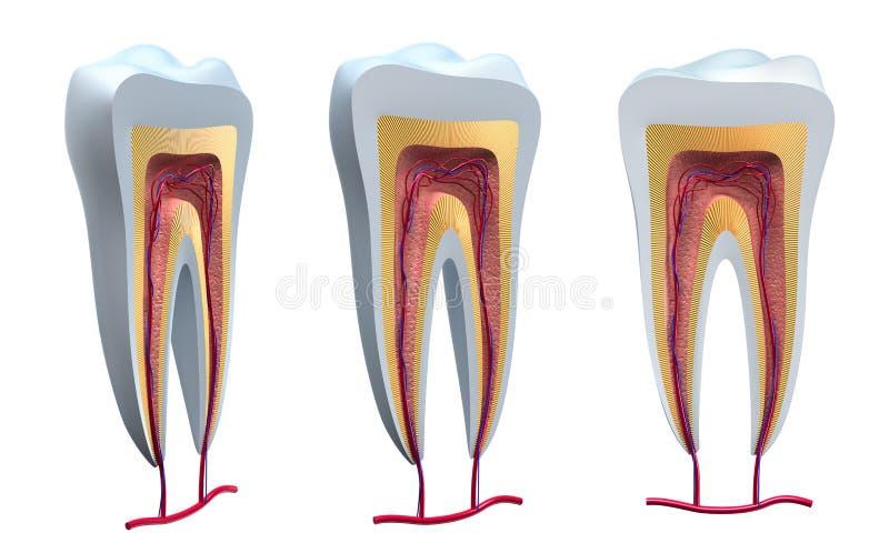 解剖学详述健康牙 向量例证