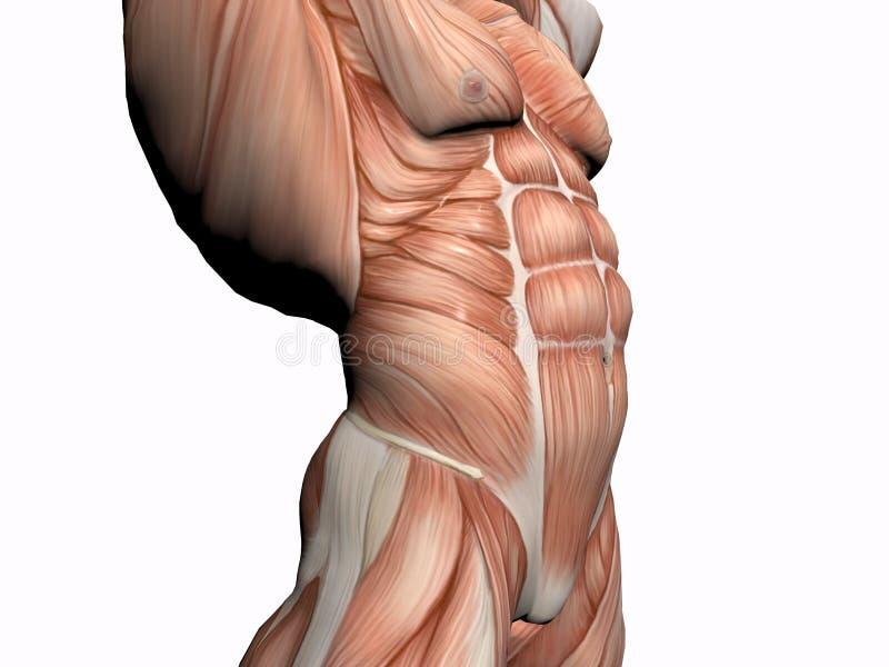 Download 解剖学车身制造厂人 库存例证. 插画 包括有 行程, 胸口, 实际, 赤裸, 科学, 肌肉, 人力, 医学, 男性 - 193142