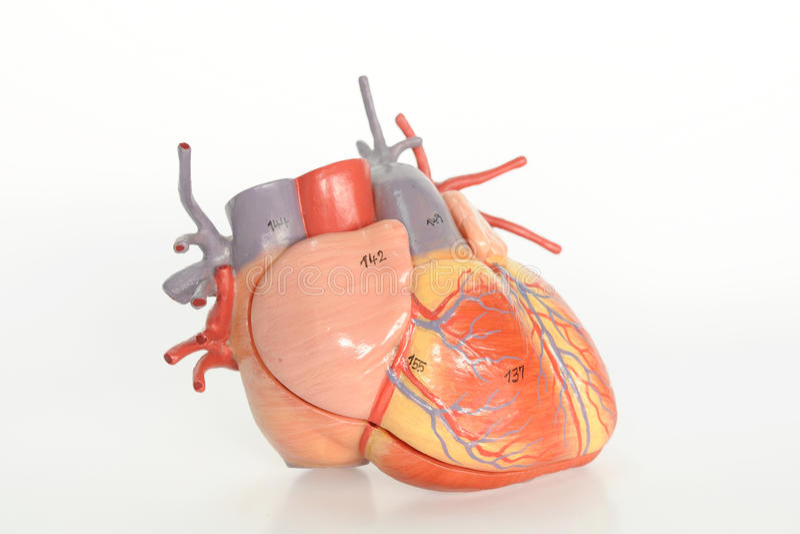 解剖学重点人 库存图片