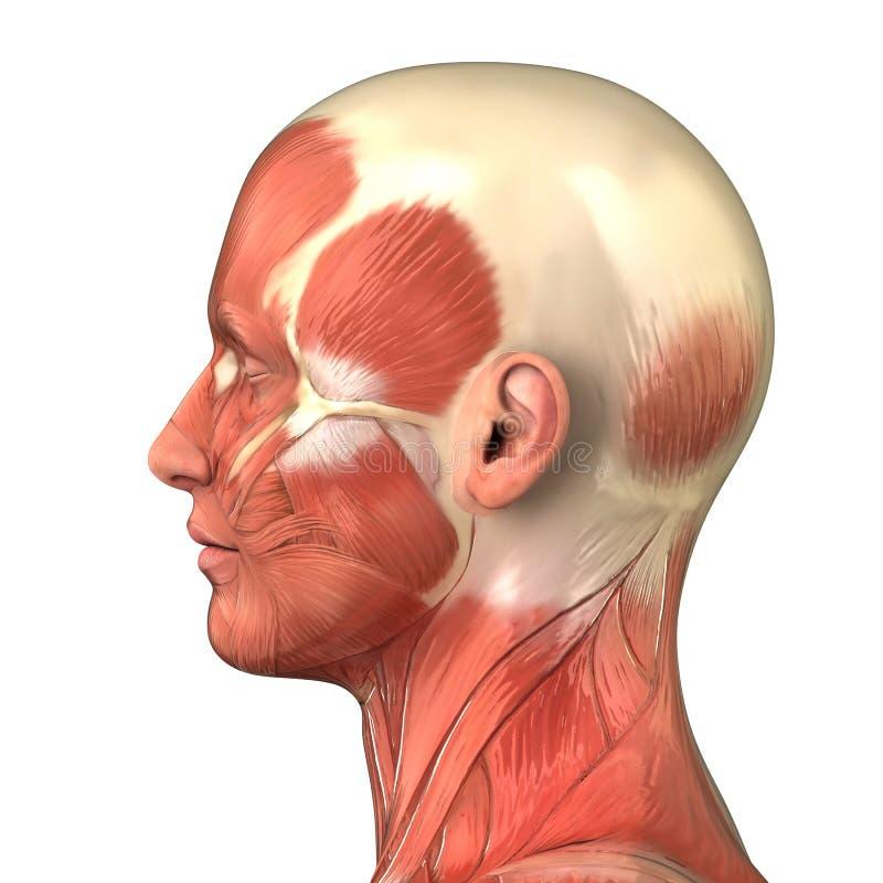 解剖学顶头侧向肌肉右侧系统视图 库存例证