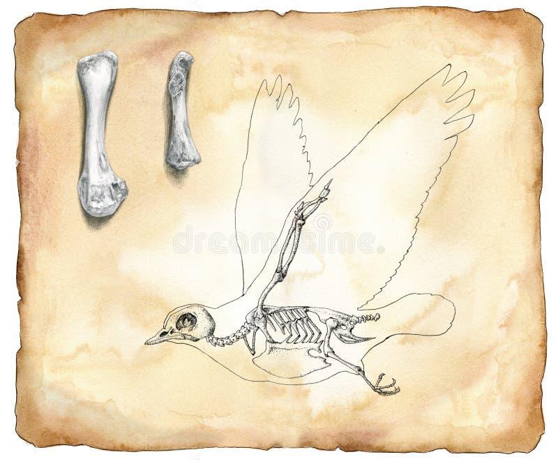 解剖学鸟水彩 皇族释放例证