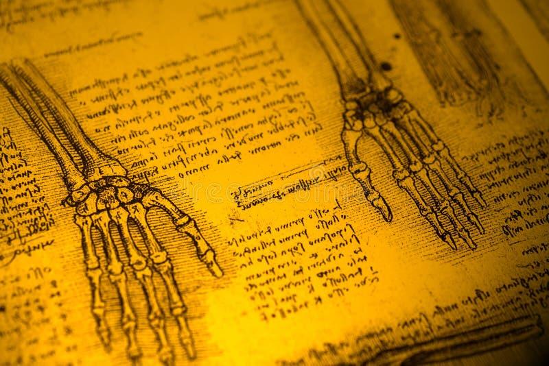 解剖学 免版税库存图片