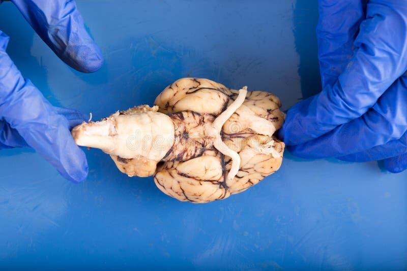 解剖脑子的生理学生 免版税库存照片