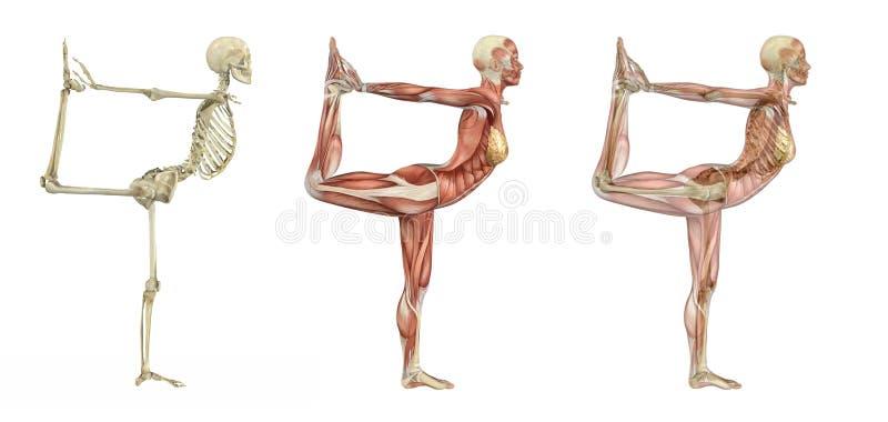 解剖舞蹈演员重叠姿势瑜伽 皇族释放例证