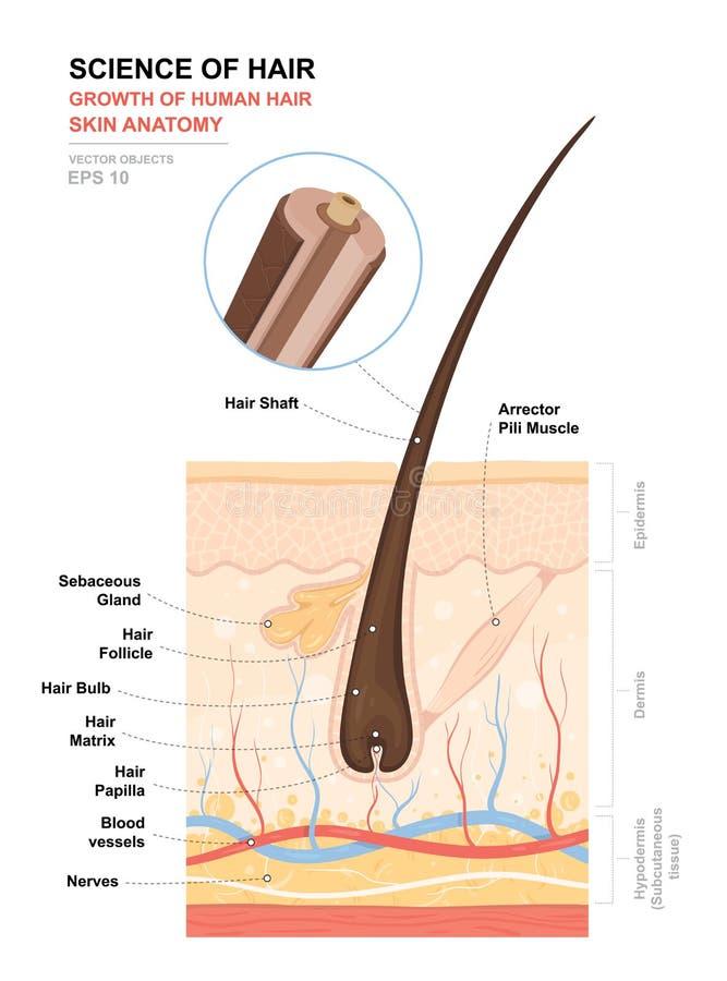 解剖训练海报 人发成长和结构  皮肤和头发解剖学 皮肤层数的横断面 库存例证