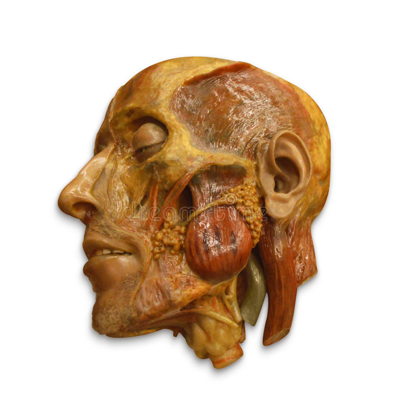 解剖面孔模型保险开关 免版税库存照片