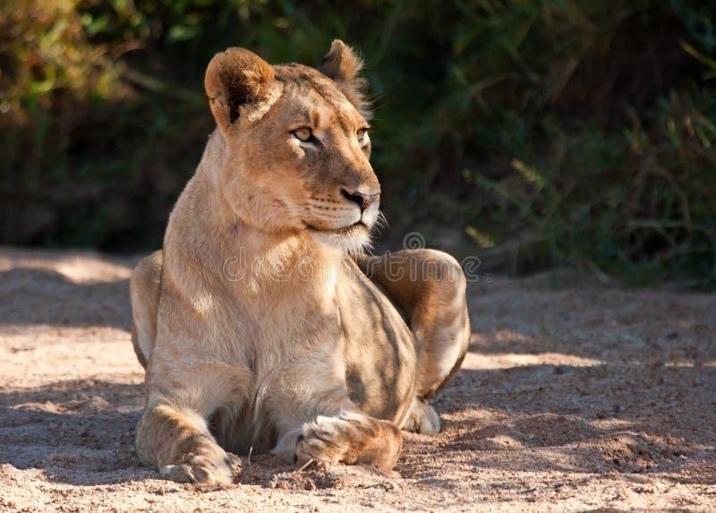 警告看起来位于的沙子的雌狮 库存照片