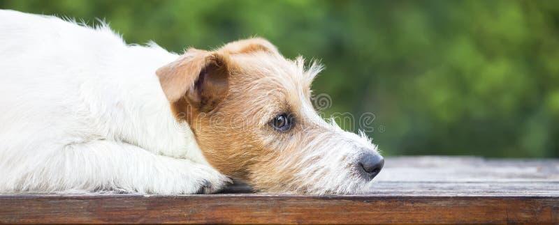 认为毛茸的逗人喜爱的起重器罗素的狗-宠物疗法网横幅  库存照片