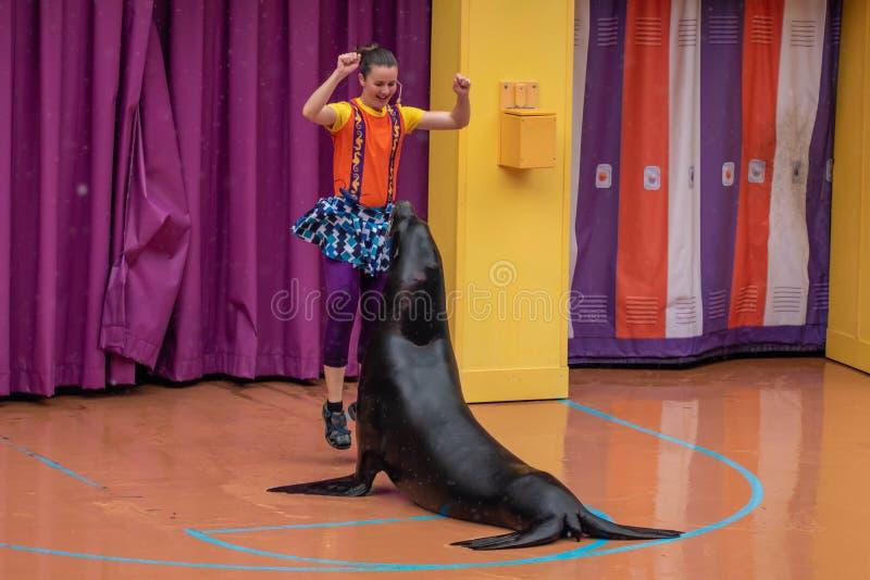 讨人喜欢的海狮使用与在海狮高展示的妇女教练在Seaworld 1 库存照片