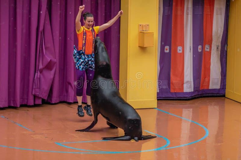 讨人喜欢的海狮使用与在海狮高展示的妇女教练在Seaworld 2 免版税库存照片