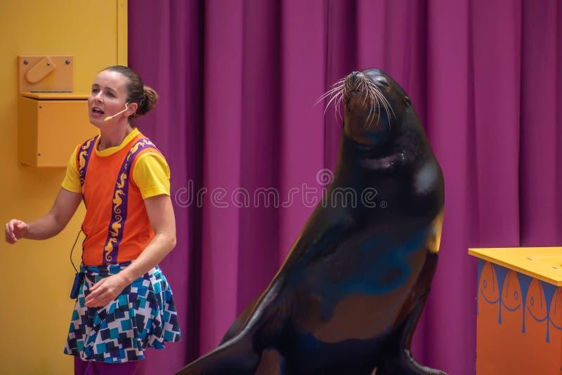 讨人喜欢的海狮使用与在海狮高展示的微笑的教练在Seaworld 5 库存图片