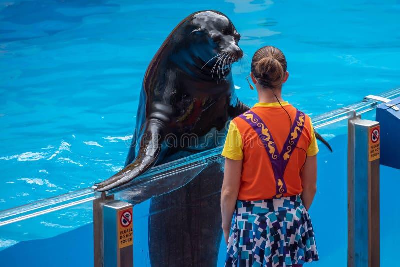 讨人喜欢的海狮和妇女教练员在海狮高展示在Seaworld 库存图片
