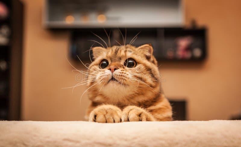 讨人喜欢的苏格兰人折叠猫 免版税库存照片