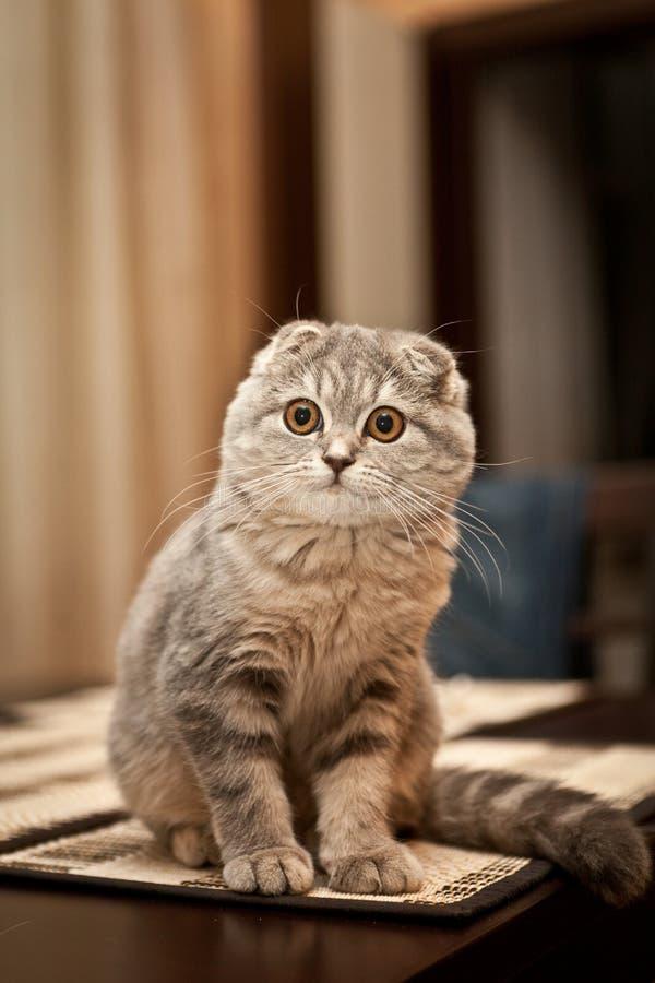 讨人喜欢的苏格兰人折叠猫 免版税库存图片