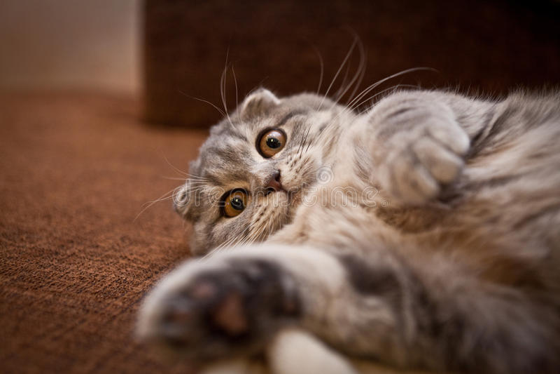 讨人喜欢的苏格兰人折叠猫 库存图片