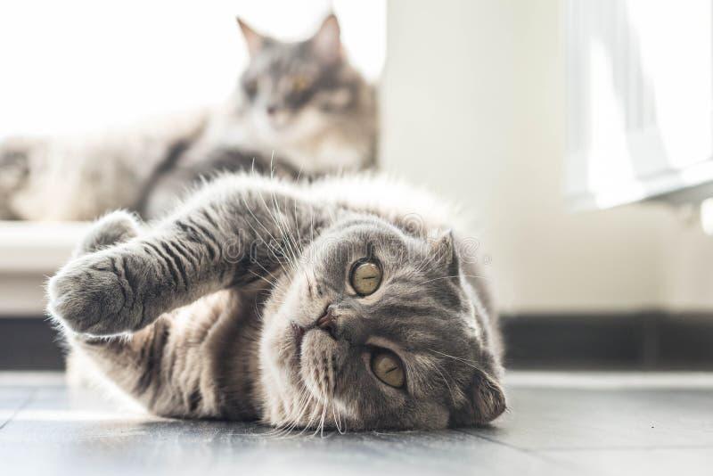 讨人喜欢的苏格兰人折叠猫 免版税图库摄影