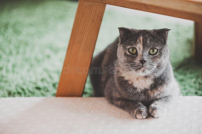 讨人喜欢的苏格兰人折叠猫 图库摄影