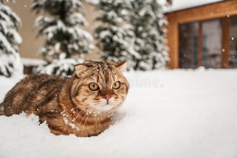 讨人喜欢苏格兰人折叠猫使用 免版税库存图片