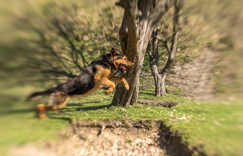 训练的德国牧羊犬在春天公园 成人服务狗 图库摄影