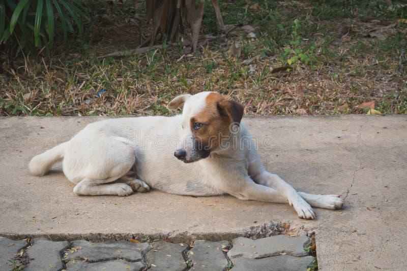 训练的狗能坐直 等待下个命令 库存图片