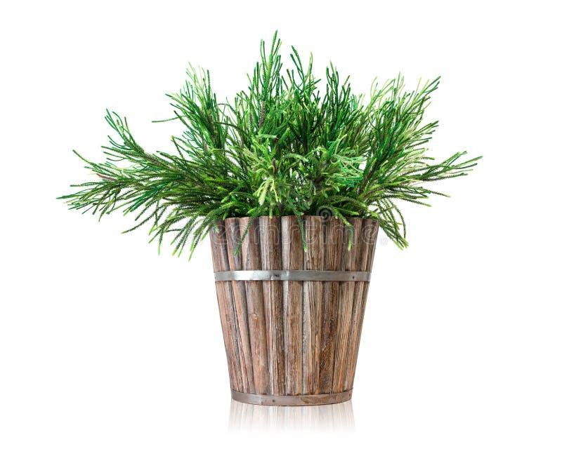 议院在白色背景隔绝的植物罐 在木罐的松树 免版税库存图片