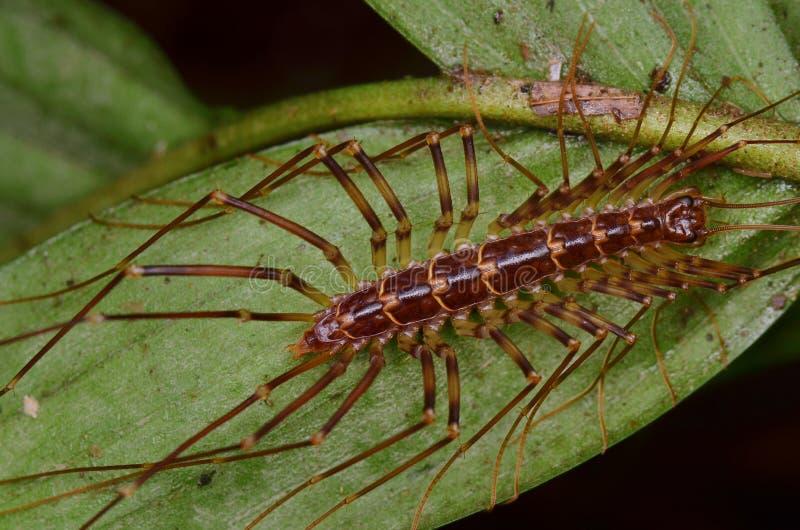 议院蜈蚣-蚰蜒类coleoptrata 库存图片