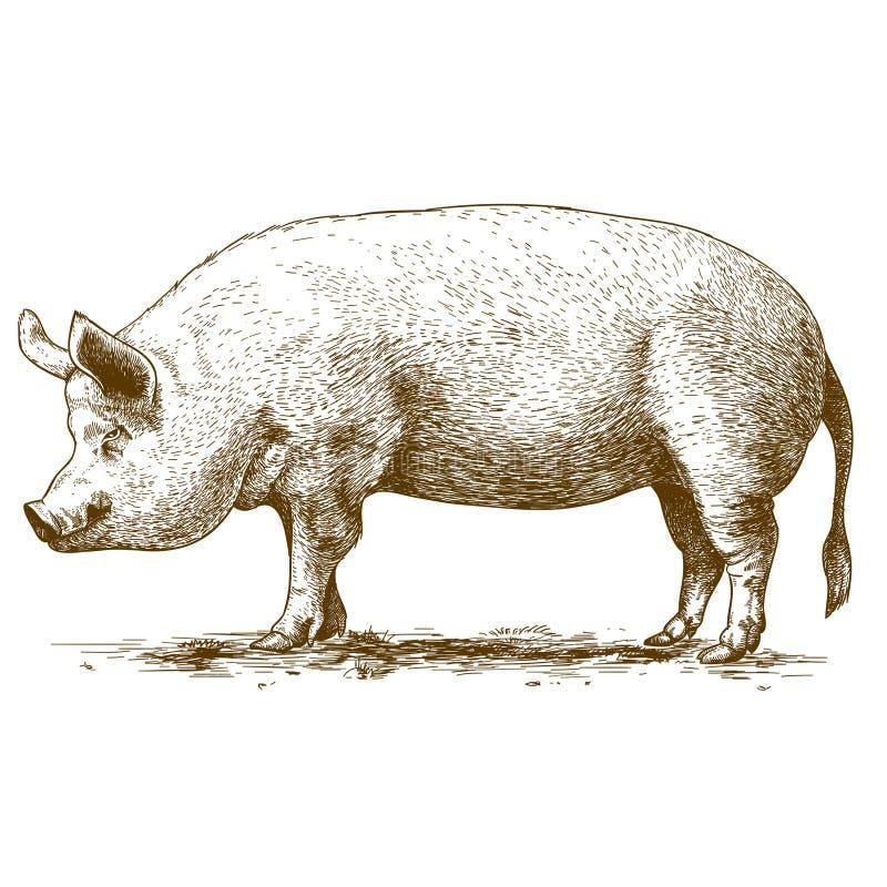 刻记大肉猪的传染媒介例证 库存例证