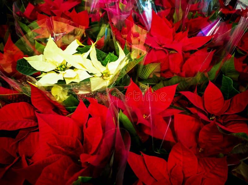 许多一品红花 库存图片