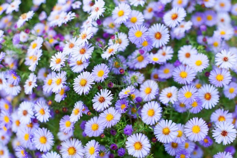 许多一点紫色雏菊花关闭,紫罗兰色高山翠菊野花,精美淡紫色花卉背景,美丽的春黄菊 免版税库存照片