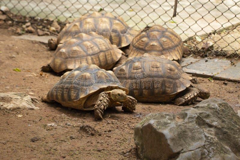 许多乌龟放松和睡觉在动物园里的亚洲巨人 免版税库存图片