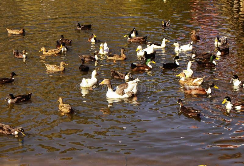 许多五颜六色的鸭子游泳 免版税库存照片