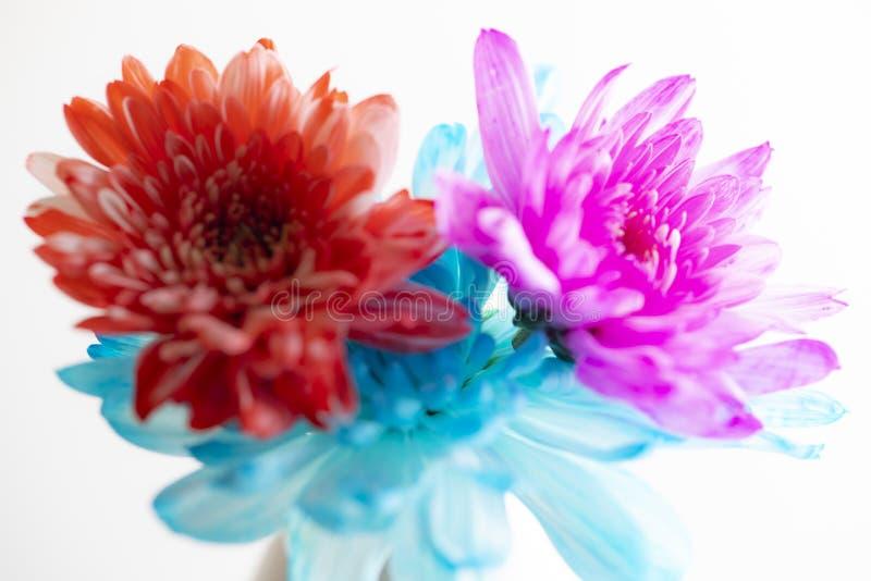 许多在白色背景的美丽的菊花花特写镜头 图库摄影
