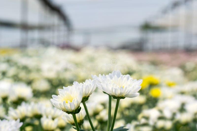 许多在领域的白色菊花花 免版税库存图片