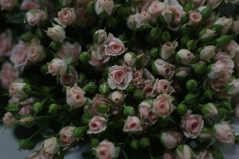 许多小桃红色玫瑰 库存图片