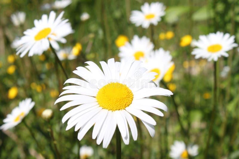 许多延命菊在庭院里 库存照片