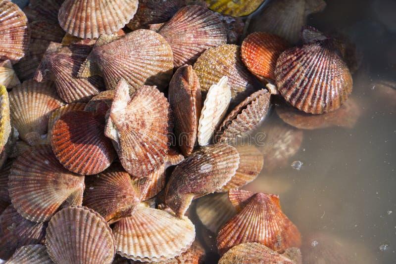许多扇贝一起被堆的海壳 免版税库存图片
