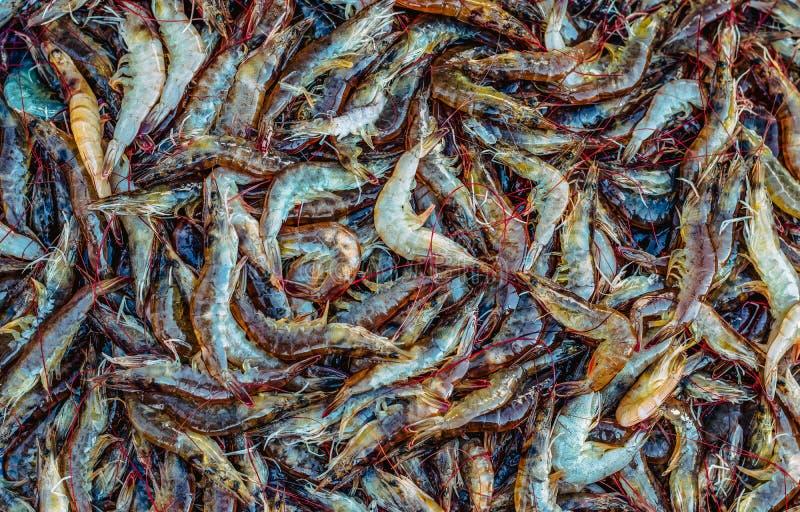 许多新鲜的未加工的海虾 免版税库存图片