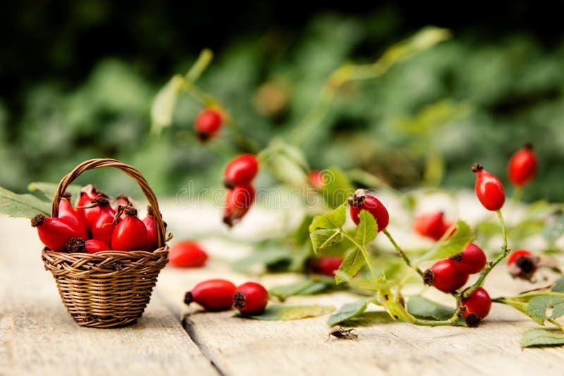 许多新鲜的野玫瑰果 库存图片