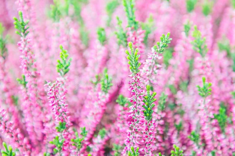 许多桃红色石南花花 寻常的紧急电报 背景美好的花分数维图象 图库摄影