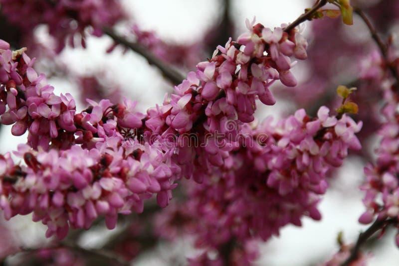 许多桃红色紫荆花特写镜头  在绽放的花在一个红褐色的分支在春天 免版税图库摄影