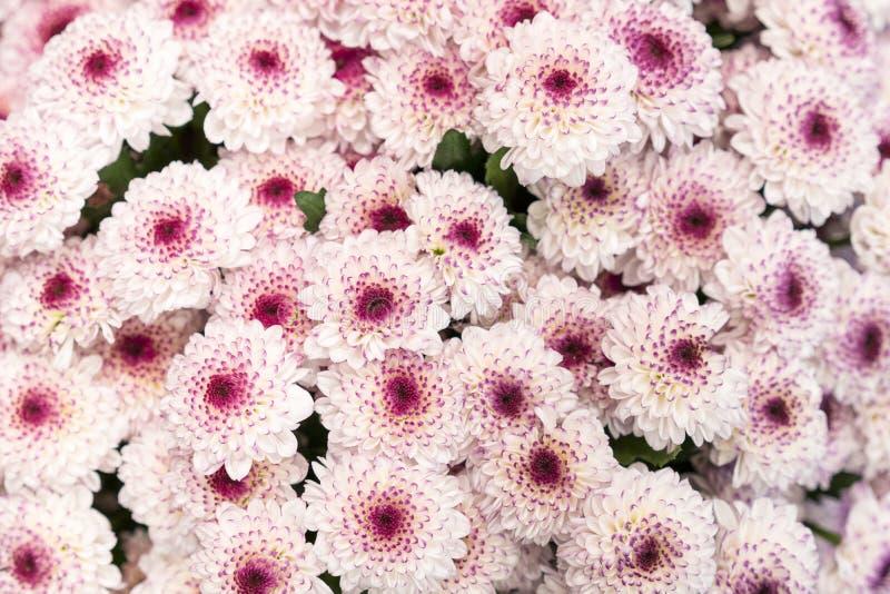 ?? 许多桃红色菊花 小桃红色花 桃红色菊花背景 免版税库存图片