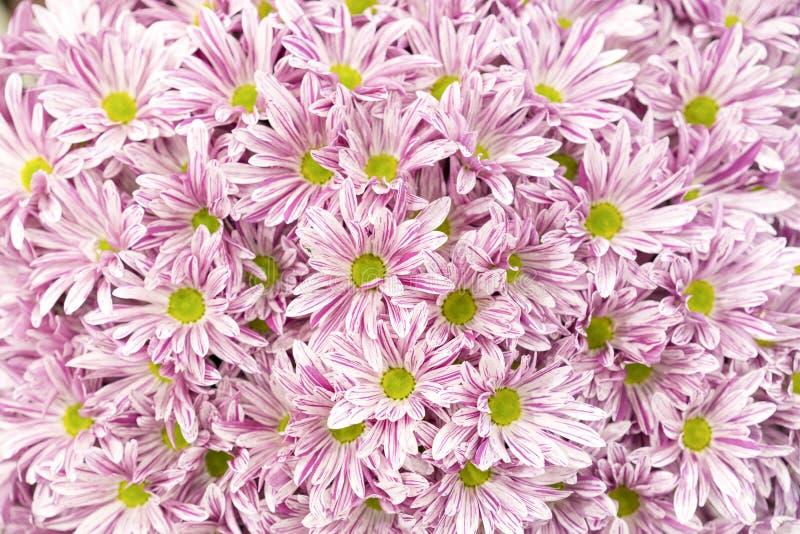 ?? 许多桃红色菊花 小桃红色花 桃红色菊花背景 库存图片