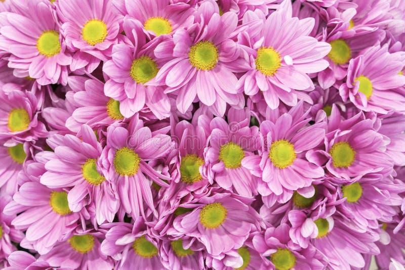 ?? 许多桃红色菊花 小桃红色花 桃红色菊花背景 库存照片